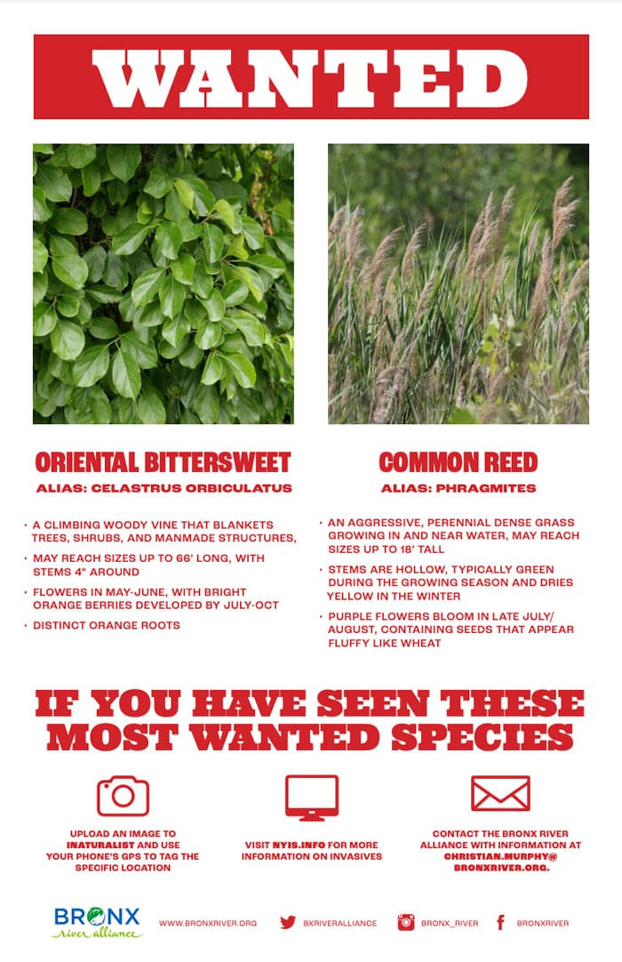 Invasive Species: Bronx River's Most Wanted